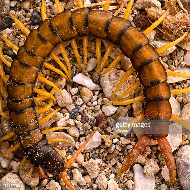 large garden centipede - centipede stock pictures, royalty-free photos & images