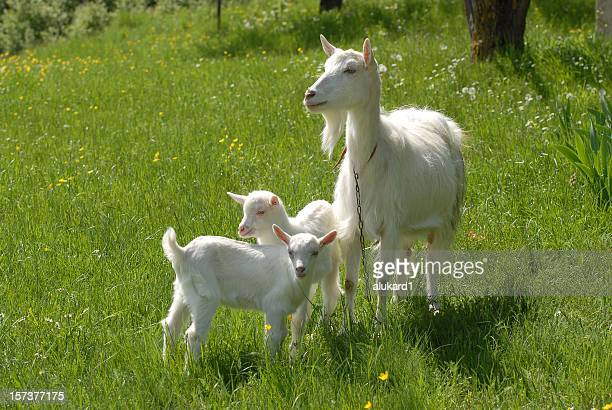 Large goat with two baby goats looking out into pasture