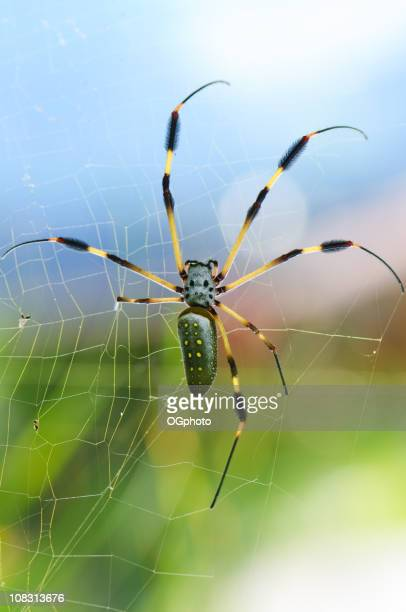 large golden orb spider - ogphoto stock photos and pictures