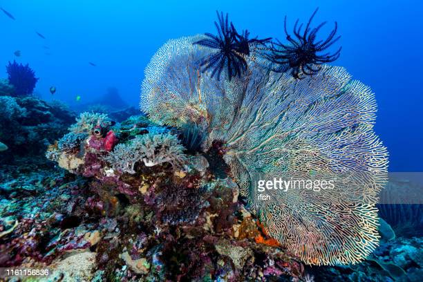large gorgonian fan annella mollis, stunning biodiversity at manuk island, banda sea, indonesia - sea life stock pictures, royalty-free photos & images