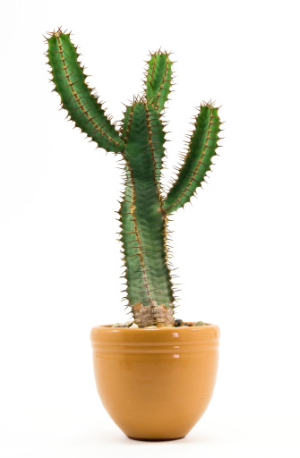 A large green cactus plant in a yellow ceramic vase 118062993