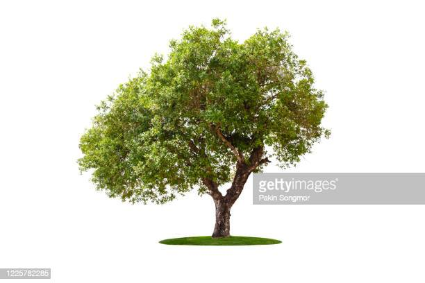 large green tree isolated on white background. - tree stock pictures, royalty-free photos & images