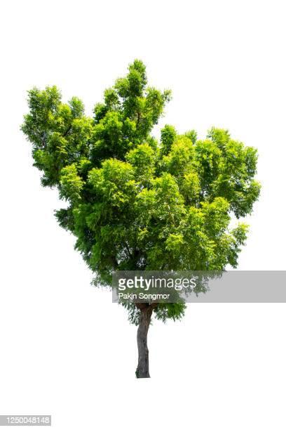 large green tree isolated on white background. - strauch stock-fotos und bilder