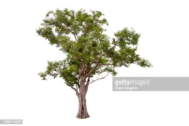 large green tree isolated on white background. - branch stock pictures, royalty-free photos & images