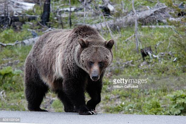 Large grizzly bear in Yellowstone National Park along the East Entrance Road.As the grizzly population recovers the bears are expanding back into...