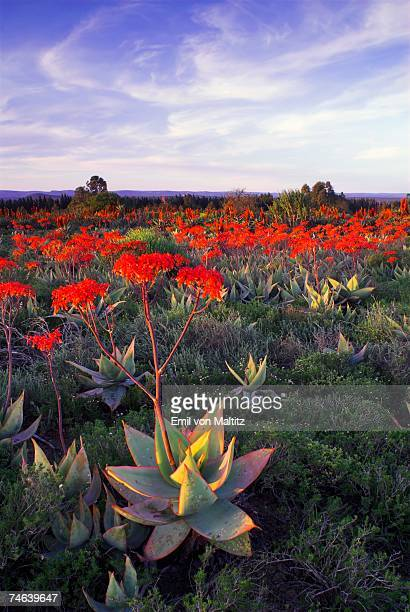 large group of aloe striata (asphodelaceae) in flower - the karoo stock photos and pictures