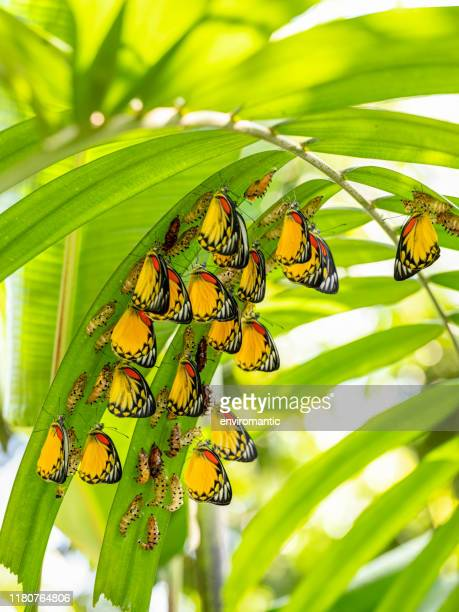 large group of beautiful yellow, white and orange abstract colored painted jezebel butterflies emerging from their chrysalis form, during metamorphosis under palm fronds, ready to begin their life as butterflies. - animal behaviour stock pictures, royalty-free photos & images