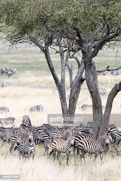 Large group of Burchell's Zebras (Equus burchelli)