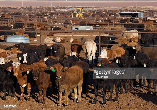 Large group of cattle waiting to be fed