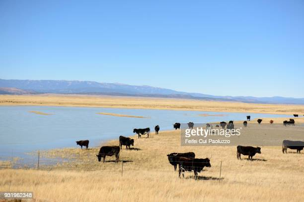 Large group of cow grazing in the field near Springer, New Mexico, USA