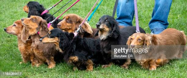 large group of dachshund dogs on leads - large group of animals stock pictures, royalty-free photos & images