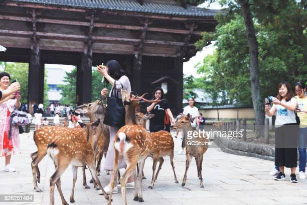 grand groupe de cerfs entourant un touriste - biche photos et images de collection