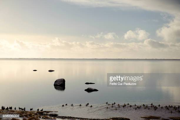 Large group of eider ducks at bay near Skogar, South Iceland