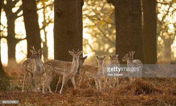 a large group of fallow deer, dama dama, in londons richmond park. - alex saberi photos et images de collection