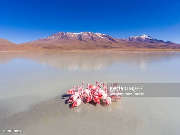 large group of flamingos in spectacular lake are feeding and relaxing in eduardo abaroa national park, uyuni, potosi / bolivia - alexandre coste foto e immagini stock