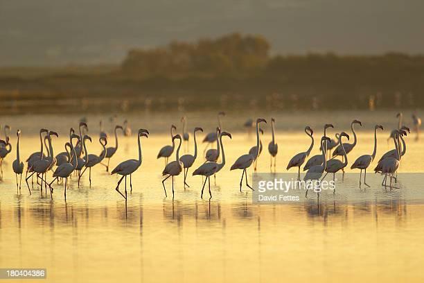 large group of flamingos, oristano region in sardinia, italy - oristano imagens e fotografias de stock