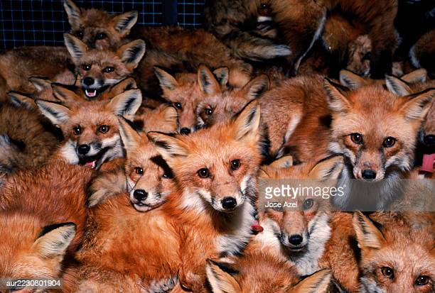 Large group of foxes trapped at one place, USA.