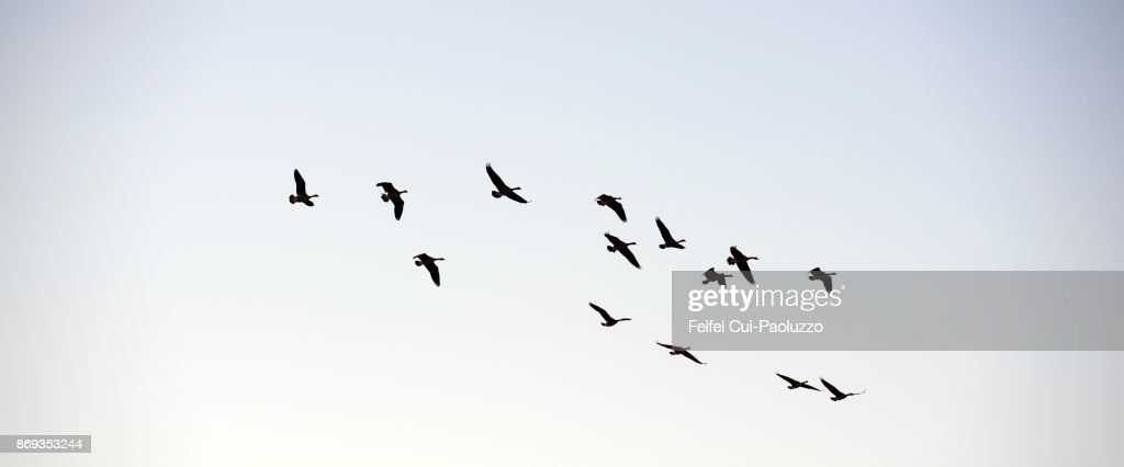 Large group of geese flying through Coquille, Oregon, USA : Stock-Foto