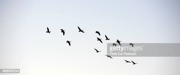 large group of geese flying through coquille, oregon, usa - vogel stock-fotos und bilder