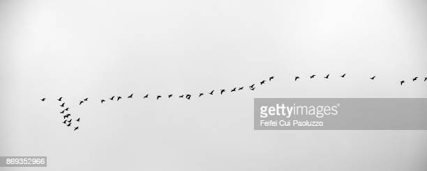 large group of geese flying through sayre, oklahoma, usa - animal migration stock pictures, royalty-free photos & images
