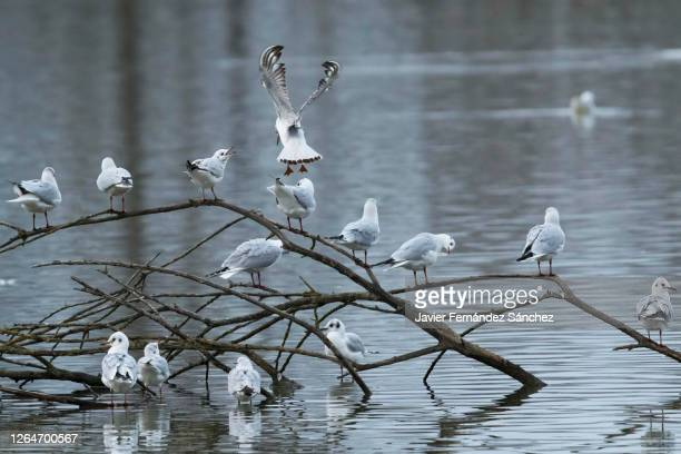 a large group of laughing gulls perched on branches that protrude over the water of a lagoon. chroicocephalus ridibundus. - アラバ県 ストックフォトと画像