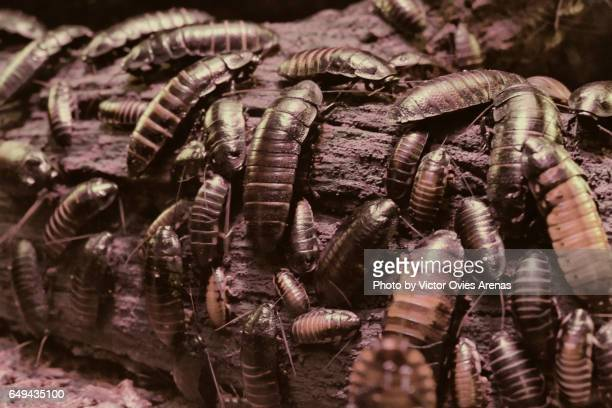 large group of madagascan hissing cockroaches on a piece of log - cockroach stock photos and pictures