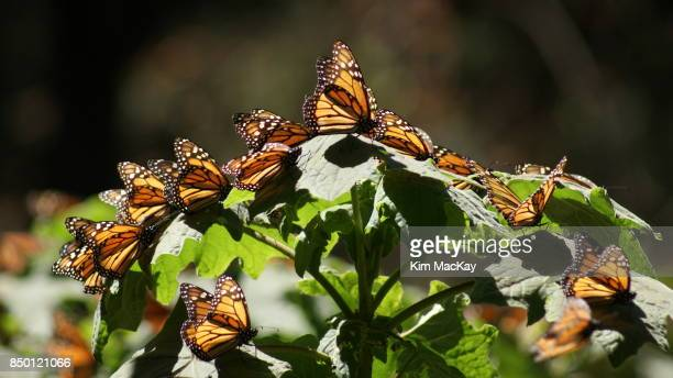 Large group of Monarch Butterflies in the Mexican Mountains