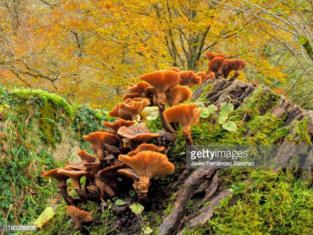 a large group of mushrooms grow on a dead trunk full of moss, with the background of the colorful autumn leaves of a beech, in the forest. - cantabria fotografías e imágenes de stock