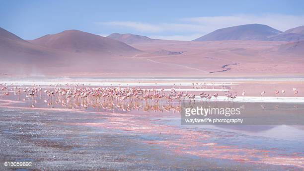 Large group of pink flamingos in the red lake, Bolivia
