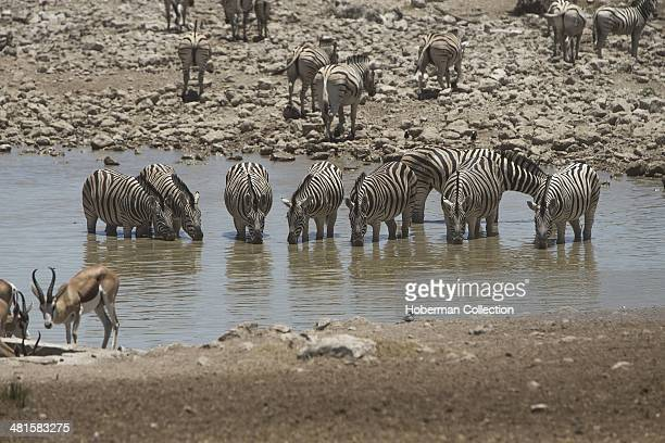 Large Group Of Safari Animals At A Waterhole A Drinking Place In Etosha Namibia The Group Consists Of Zebras Springboks And Impalas