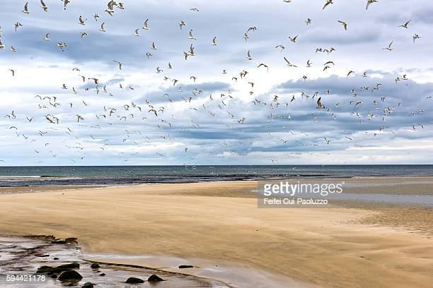 Large group of seagull at Garry beach in Isle of Lewis