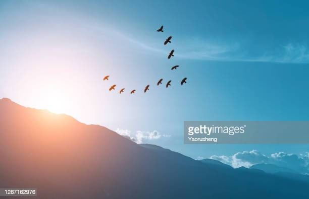 large group of seagull  flying in the sky in the sunset - goose bird stock pictures, royalty-free photos & images