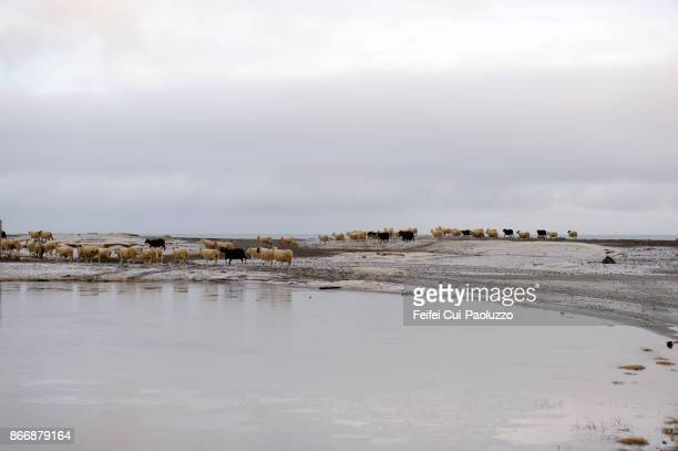 large group of sheep at  borgarfjordur, eastfjords, iceland - icelandic sheep stock photos and pictures