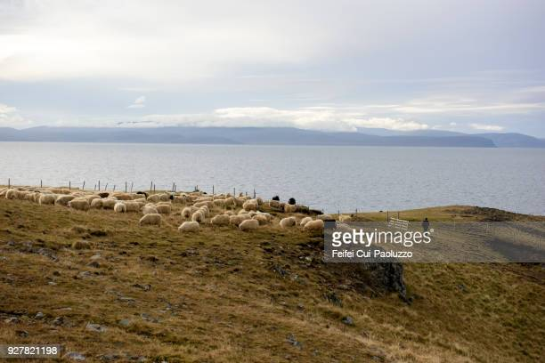 large group of sheep at vatnsnes, northern iceland - icelandic sheep stock photos and pictures