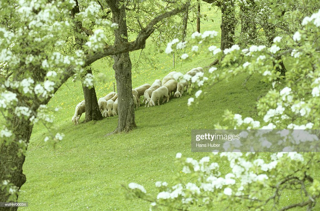 Large group of sheep grazing, Austria : Stock Photo