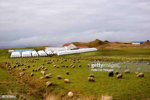 large group of sheep in the field near hofn, eastern iceland - austurland stock-fotos und bilder