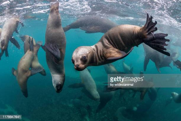 large group of south american sea lions looking at the camera at a sea lion colony, nuevo gulf, valdes peninsula, argentina. - animal stock pictures, royalty-free photos & images