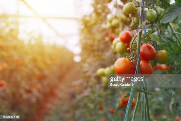 large group of tomatos in greenhouse - tomato harvest stock pictures, royalty-free photos & images