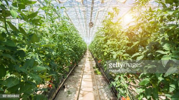 große gruppe von tomaten im gewächshaus - gewächshäuser stock-fotos und bilder