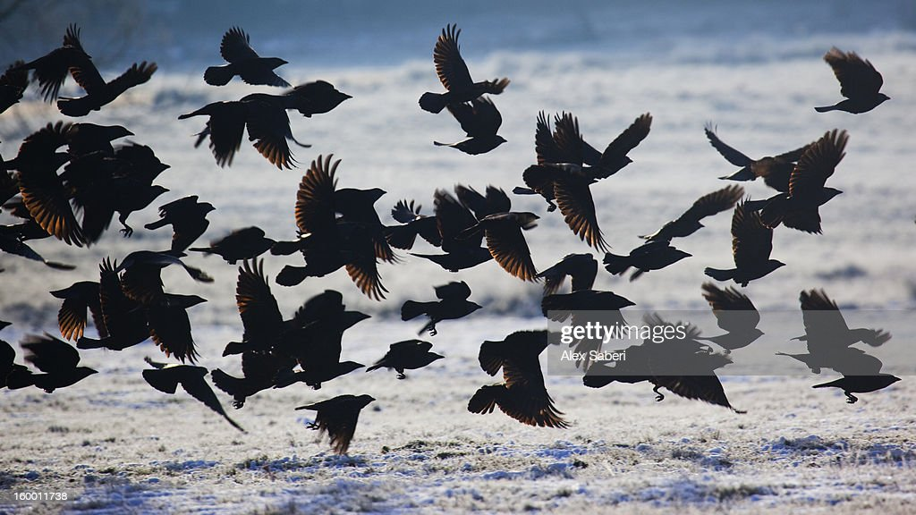 A large group of western jackdaws takes flight over winter snow. : Stock Photo