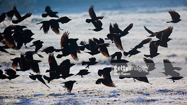 a large group of western jackdaws takes flight over winter snow. - alex saberi stock pictures, royalty-free photos & images