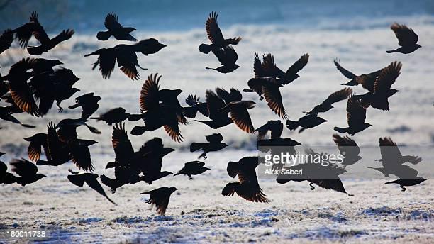 a large group of western jackdaws takes flight over winter snow. - alex saberi stockfoto's en -beelden