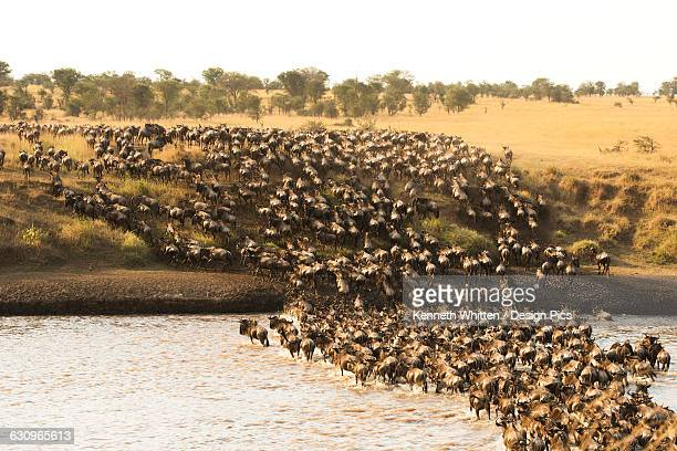 large group of wildebeest (connochaetes taurinus) surge across the flooded mara river in serengeti national park - abundance stock pictures, royalty-free photos & images