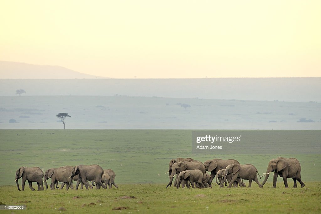 Large herd of African Elephants on the move : Stock Photo