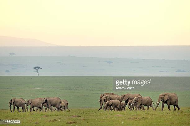 Large herd of African Elephants on the move