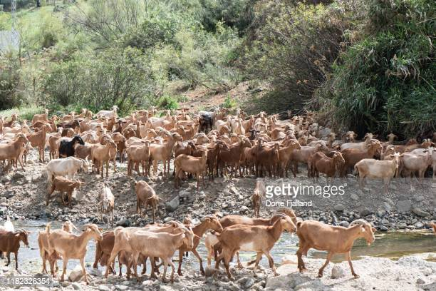 large herd of brown goats walking along a river on a sunny day - dorte fjalland stock pictures, royalty-free photos & images