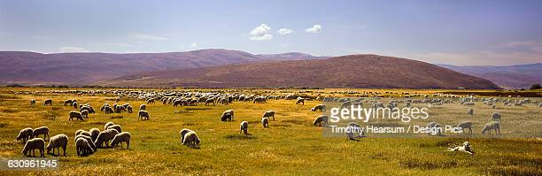 a large herd of sheep grazes in a meadow while a yellow labrador retriever keeps watch in the foreground, hills and blue sky beyond - timothy hearsum stock pictures, royalty-free photos & images