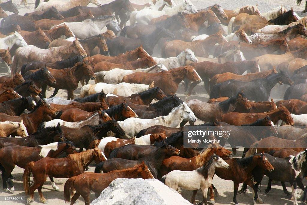 Large horse herd : Stock Photo