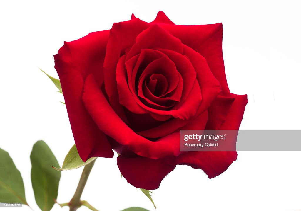 Large hybrid red rose on white background getty large hybrid red rose on white background voltagebd Gallery