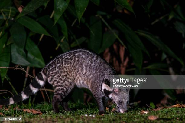 large indian civet in the jungle, night photography - civet cat stock pictures, royalty-free photos & images
